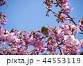 桜とメジロ 44553119
