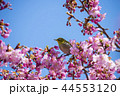 桜とメジロ 44553120