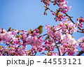 桜とメジロ 44553121