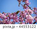 桜とメジロ 44553122