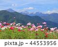 風景 安曇野 コスモスの写真 44553956