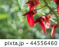 アメリカ梯梧 海紅豆 エリスリナの写真 44556460
