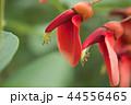 アメリカ梯梧 海紅豆 エリスリナの写真 44556465