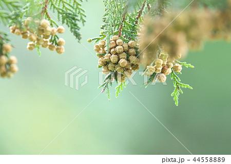 茶色になったサワラの実  花粉も飛散 44558889
