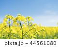 菜の花 花 咲くの写真 44561080