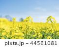 菜の花 花 咲くの写真 44561081