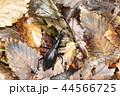 昆虫 虫 甲虫の写真 44566725
