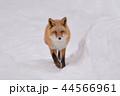 キタキツネ 狐 動物の写真 44566961