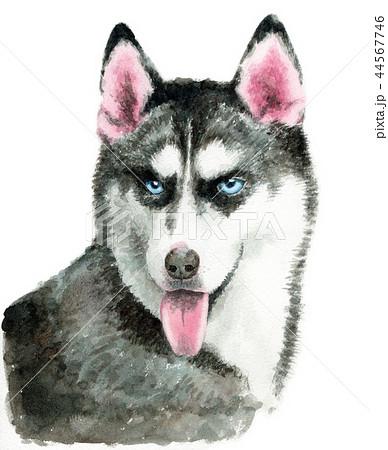 水彩で描いたシベリアンハスキー犬 44567746