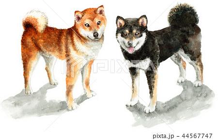 水彩で描いた茶色と黒の柴犬 44567747