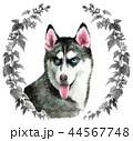 水彩で描いたシベリアンハスキー犬 44567748