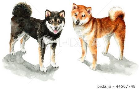 水彩で描いた茶色と黒の柴犬 44567749