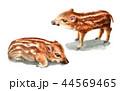 水彩で描いたイノシシの子/瓜坊 44569465