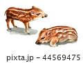 水彩で描いたイノシシの子/瓜坊 44569475