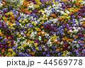 パンジー 満開 春の写真 44569778