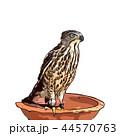 鳥類 鳥 タカのイラスト 44570763