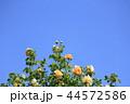 薔薇 グラハム・トーマス 44572586