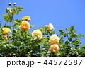 薔薇 グラハム・トーマス 44572587