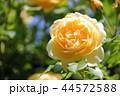 薔薇 グラハム・トーマス 44572588