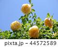 薔薇 グラハム・トーマス 44572589