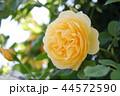 薔薇 グラハム・トーマス 44572590
