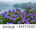 籾木池 紫陽花 梅雨の写真 44573502