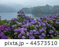 籾木池 紫陽花 梅雨の写真 44573510