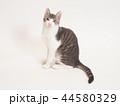 お座りした仔猫(ゆず) 44580329