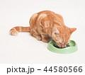 餌を食べる仔猫(にゃーすけ) 44580566