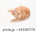 グルーミングをする仔猫(にゃーすけ) 44580776