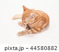 グルーミングをする仔猫(にゃーすけ) 44580882