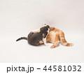 じゃれる二匹の仔猫(ゆず&にゃーすけ) 44581032