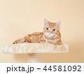 キャットタワーに乗る仔猫(にゃーすけ) 44581092