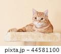 キャットタワーに乗る仔猫(にゃーすけ) 44581100