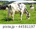 牧場 ホルスタイン 乳牛の写真 44581197