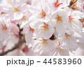 桜 花 アップの写真 44583960