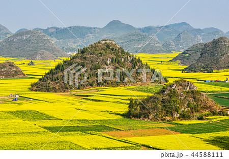 菜の花畑(雲南省羅平県) 44588111