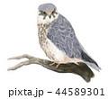 チゴハヤブサ 44589301