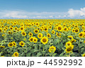 Sunflowers 44592992