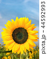 Sunflower 44592993