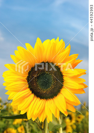 Sunflower 44592993