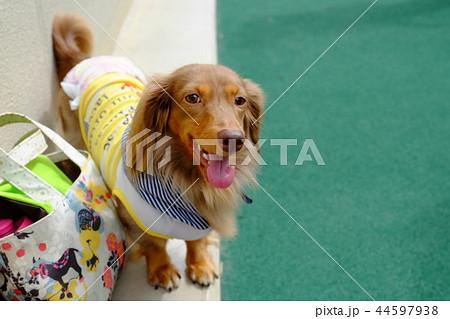ダックスフンド 犬 44597938