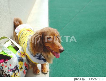 ダックスフンド 犬 44597939
