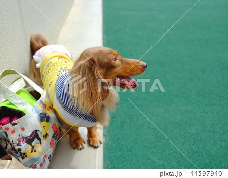ダックスフンド 犬 44597940