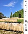 水田 稲 米の写真 44602503