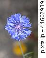 コーンフラワー ヤグルマギク 矢車菊の写真 44602939