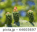 さぼてん サボテン 仙人掌の写真 44603697
