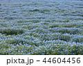 ネモフィラ 花 花畑の写真 44604456