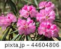 シャクナゲ 石楠花 花の写真 44604806