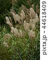 すすき 穂 秋の写真 44618409